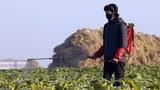 협동농장에서 배추에 농약을 뿌리는 모습.