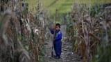 황해남도의 한 농장에서 어린이가 홍수와 태풍 피해를 입은 옥수수 밭을 돌보고 있다.