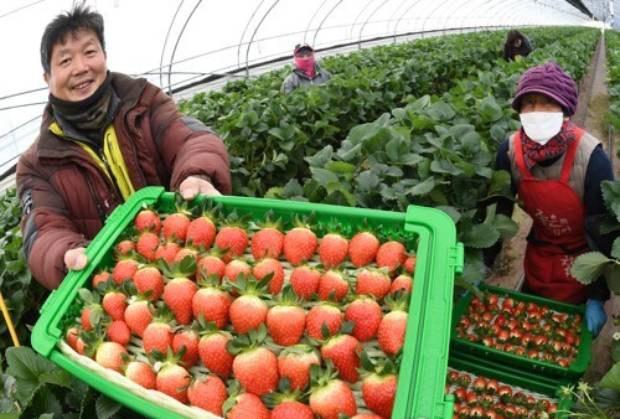 딸기가 겨울 과일?
